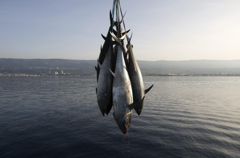 Bluefin tuna fished off Calabria, Italy