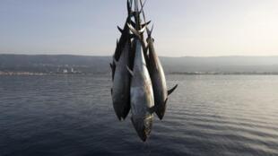 Des thons rouges pêchés dans le sud de l'Italie, le 20 novembre 2009.