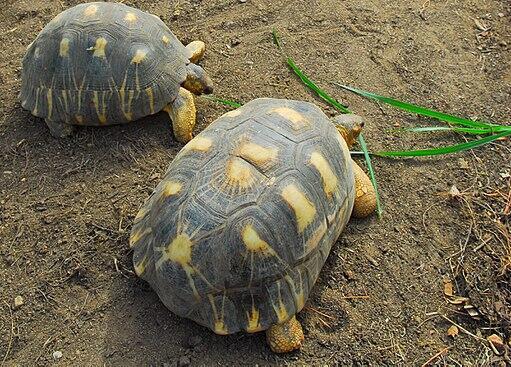 Striped turtle, Madadgascar.