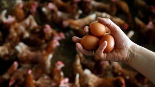 Efeitos da contaminação de ovos com fipronil se alastram pela Europa.