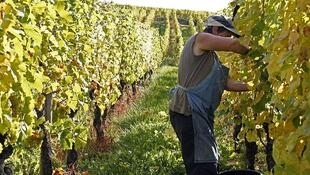 Виноградники Эльзаса пострадали во время весенних заморозков.