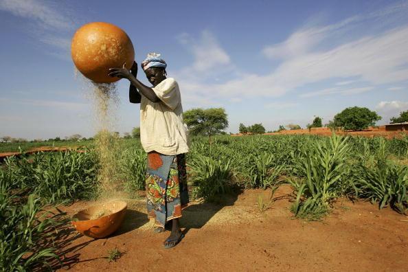 Culture de mil au Niger, (photo d'illustration)