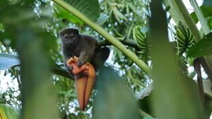 Lémurien bambou (nom scientifique: hapalemur occidentalis). Il vit dans la forêt de bambou à partir de 420 m d'altitude.