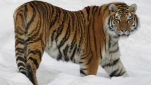 瀕於滅絕的西伯利亞虎
