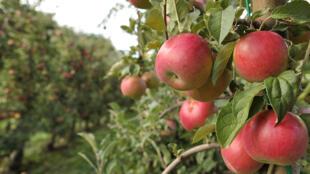 En Slovénie, la production de pommes a chuté de 85% suite à un hiver très froid et une sécheresse prolongée pendant l'été.
