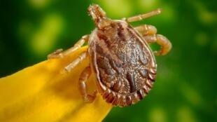 Les tiques appartiennent à la famille des arachnides.