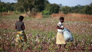 Des jeunes filles récoltent du coton biologique, le coton premier choix que produit le Burkina Faso.