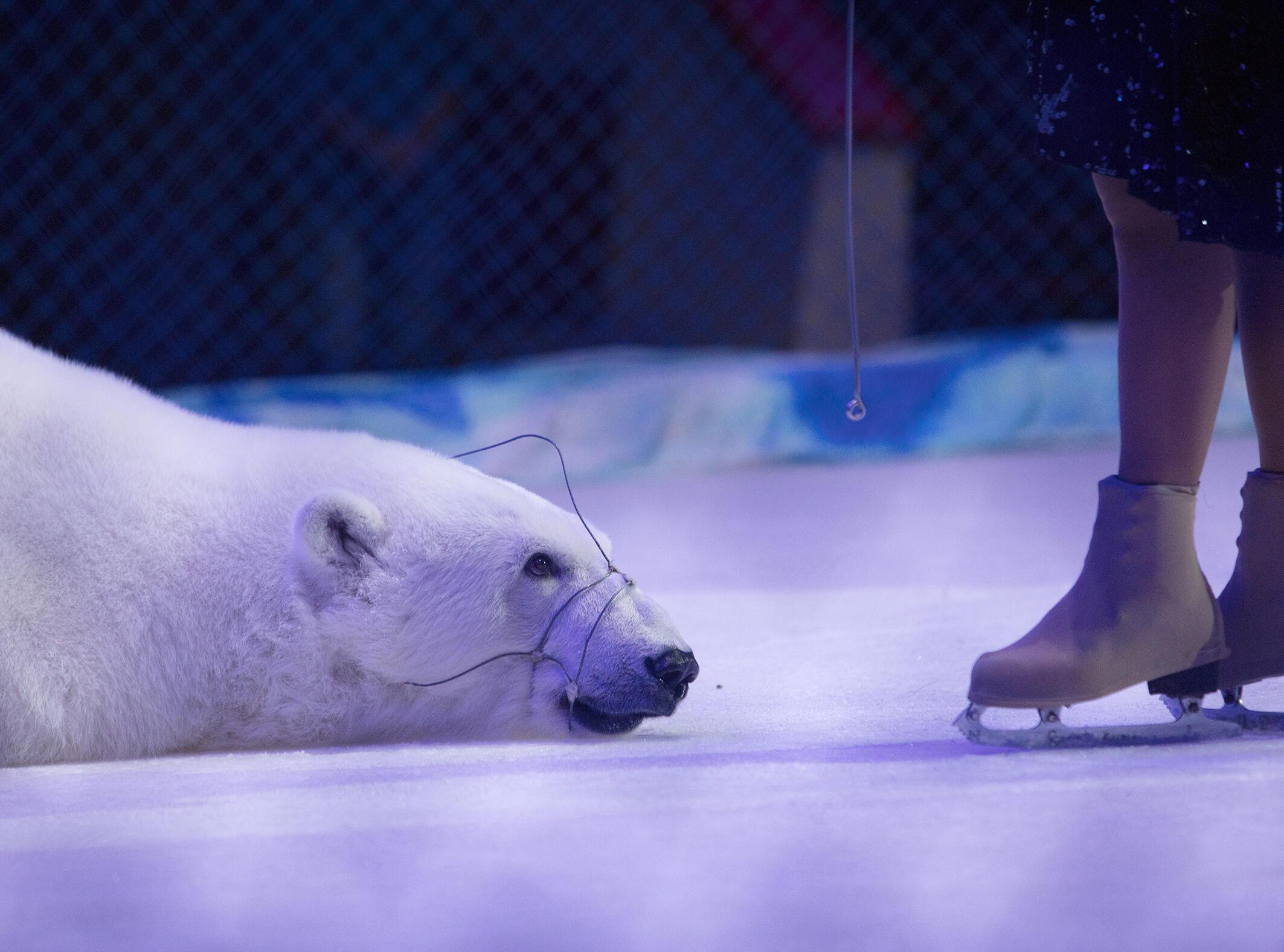 Urso polar usado em um espetáculo de circo na Rússia.