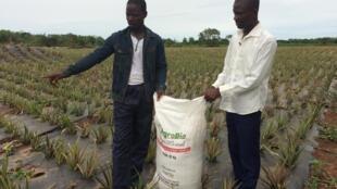 Gildas Zodome, le fondateur de Bio Phyto, à droite, avec un de ses clients producteurs d'ananas bio à Allada.