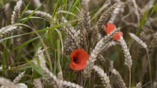 Du blé endommagé par les fortes pluies et les inondations, le 8 août 2016, dans le Nord-Pas-de-Calais.