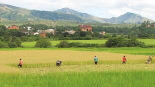 Récolte du riz à Madagascar.