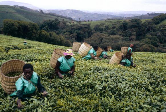 Avant sa certification, le thé du Burundi était absent des rapports annuels mondiaux, notamment de celui de Cyclope, le principal institut de recherches européen sur les marchés des matières premières.