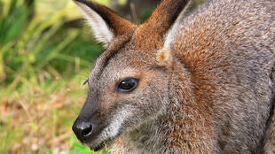 Red-necked Bennett's wallaby_Wikimedia Commons_Credit Benjamint444