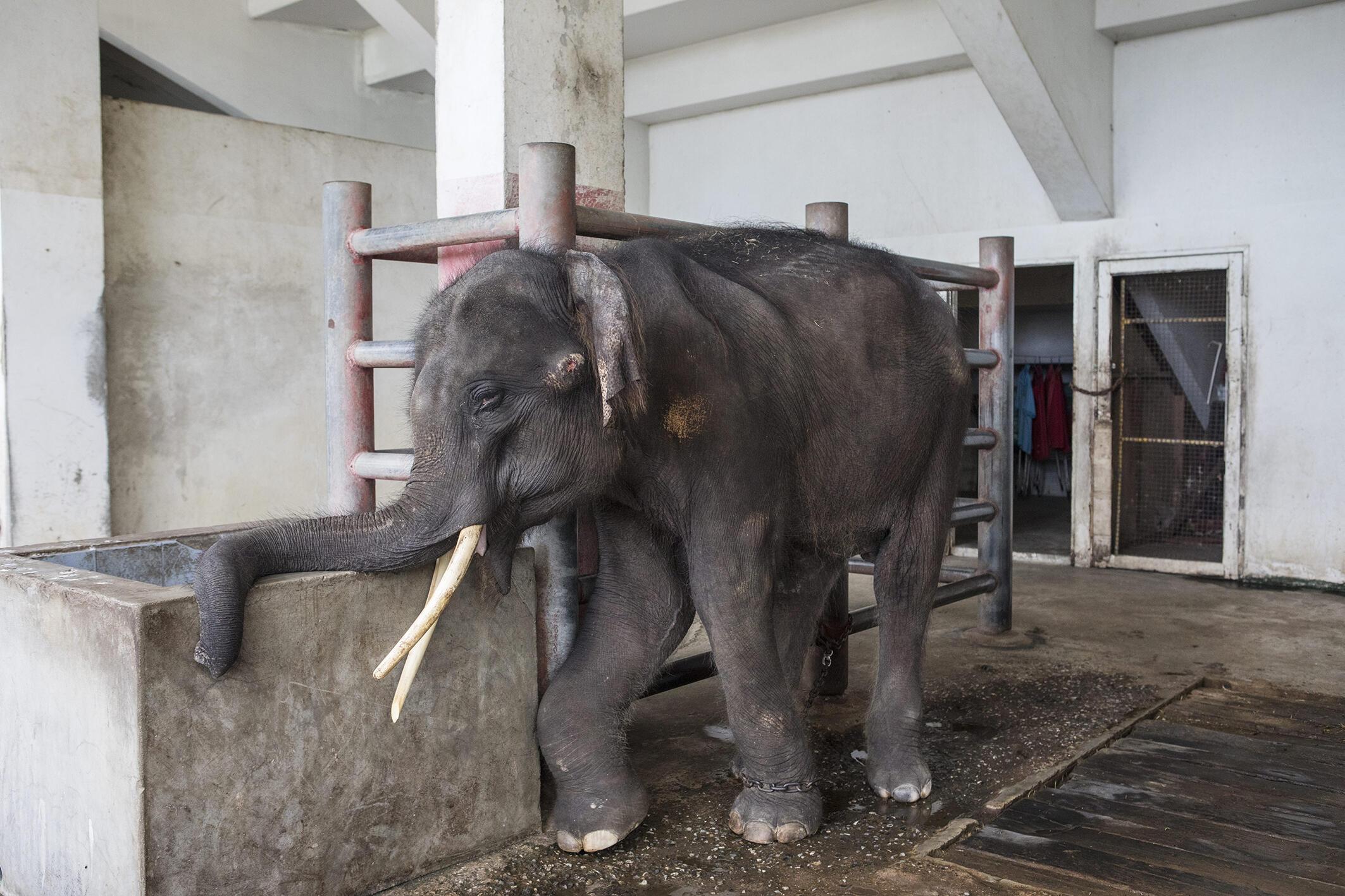Elefante é mantido em cativeiro e usado em apresentações para os turistas na Tailândia.