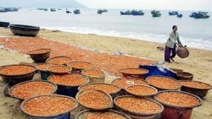 Au Vietnam, le delta du Mékong, reconnu depuis longtemps comme le «bol de riz du Vietnam», abrite aujourd'hui une industrie de la crevette de plusieurs milliards de dollars