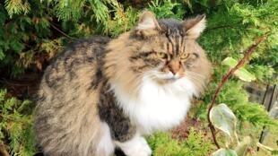 Les chats semblent plus fragiles que les chiens face au coronavirus Covid-19.