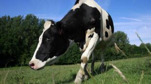 Vaca pastando em Rebreuve sur Canche, norte da França.