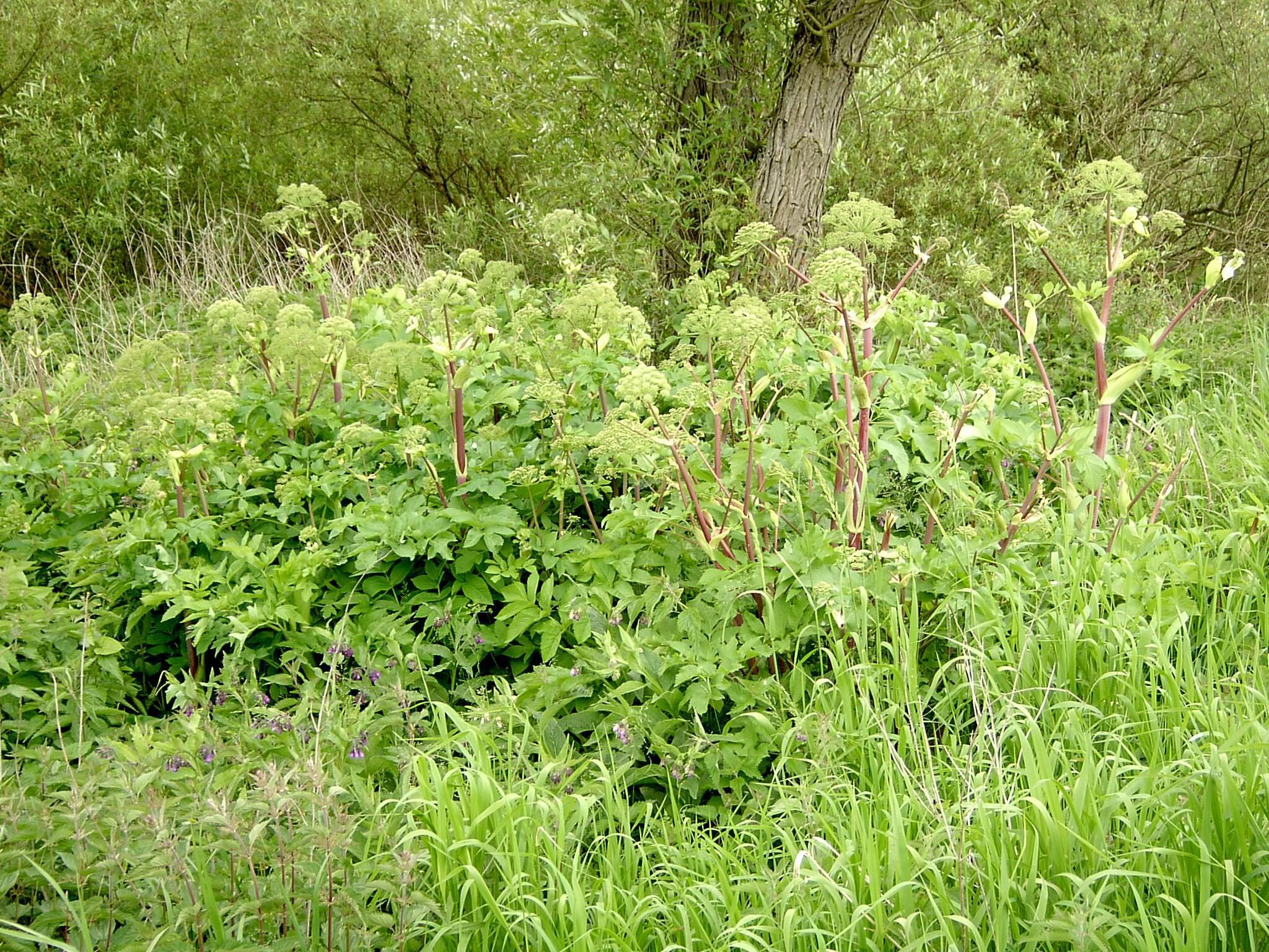 """Angelica archangelica - по-русски """"дягиль"""", растет повсюду, где есть влага"""
