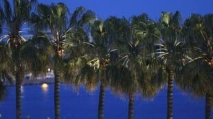 Des palmiers sur la Croisette pendant le 66e Festival de Cannes.
