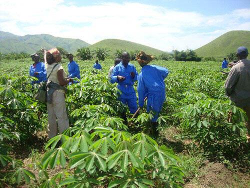 Un champ de manioc.