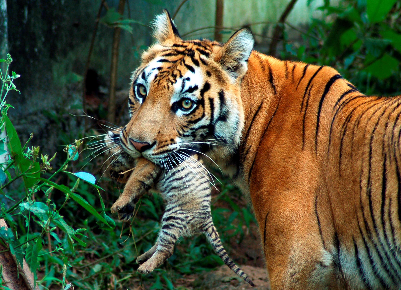 印度古瓦哈提一处动物园里的母老虎嘴里衔着虎崽。