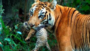 印度古瓦哈提一處動物園裡的母老虎嘴裡銜着虎崽。