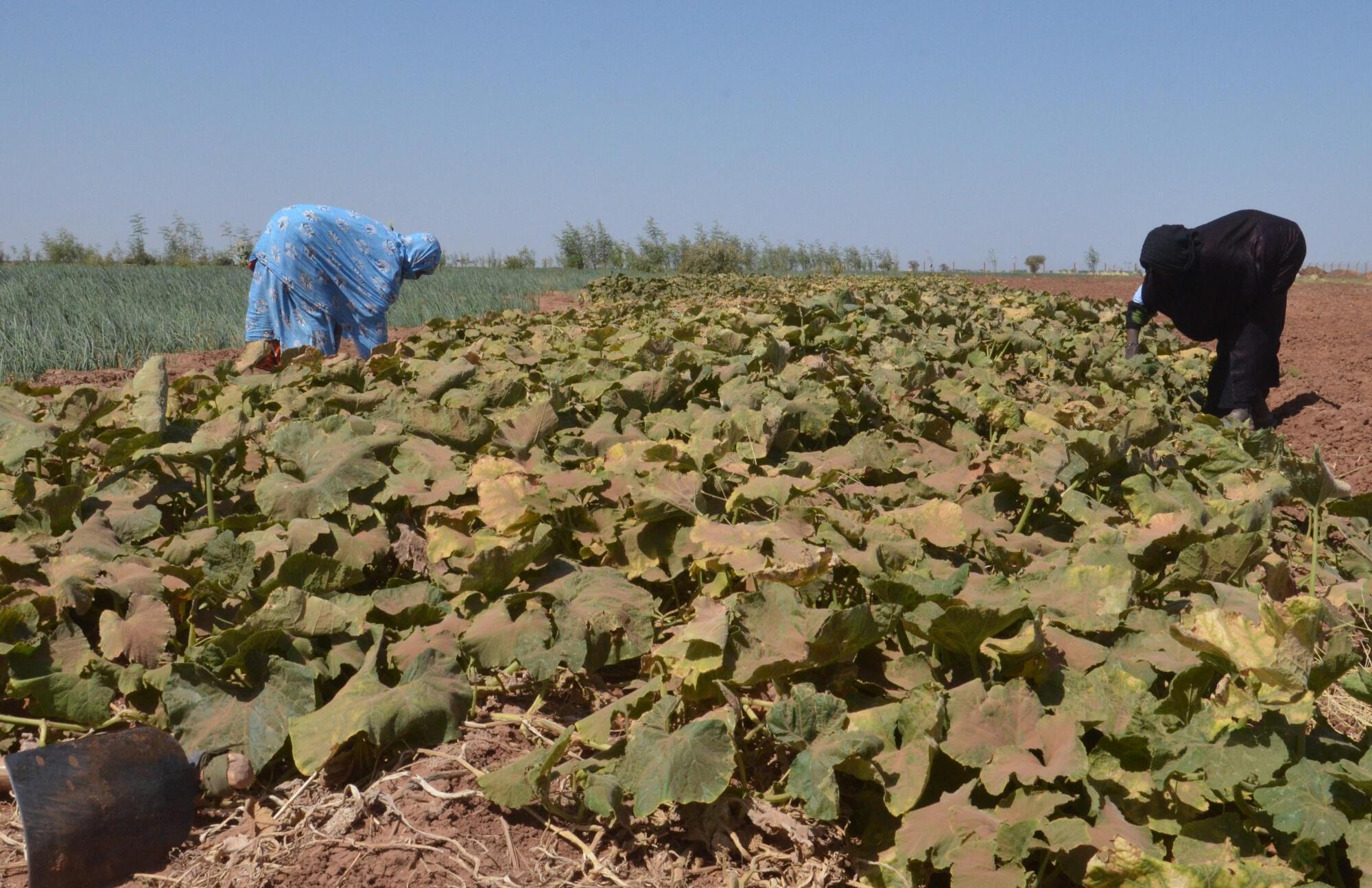 Agriculture - maraichage - Niger - Agadez