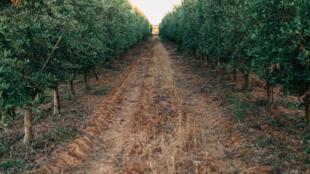 Une oliveraie au Portugal.