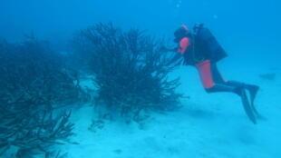 Prélèvement de corail en branche par un plongeur de l'expédition Tara Pacific.