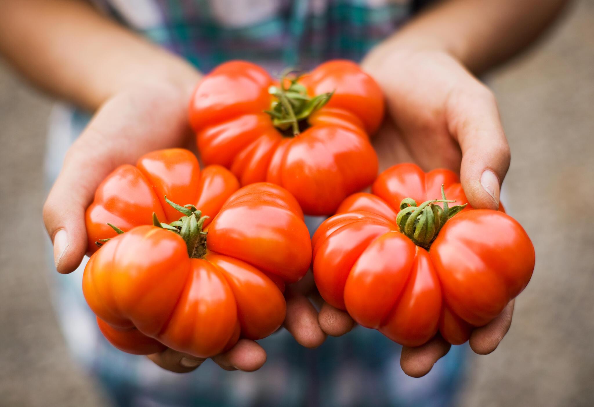 Le nouveau virus de la tomate a été détecté dans deux exploitations agricoles du Finistère, dans le nord-ouest de la France.