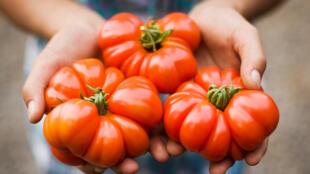 La consommation de la tomate a baissé de 15% cette année en France.