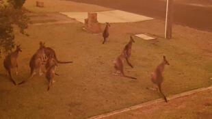 Cangurus tentam se refugiar em área residencial de Berrara Beach, ao sul de Sydney, diante do avanço do fogo.