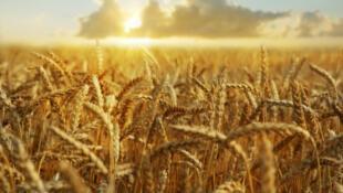 Champ de blé aux Etats-Unis.