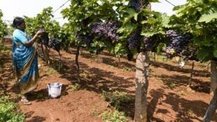 Depuis mai 2019, l'Union européenne a importé 121 000 tonnes de grappes auprès du géant sud-asiatique, majoritairement du raisin blanc.