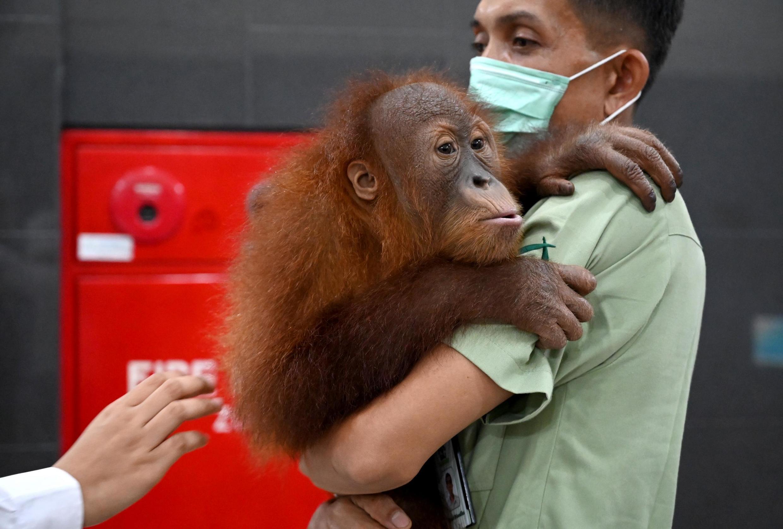 Un bébé orang-outan récupéré par les autorités indonésiennes après un trafic international, en décembre 2019.