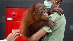 Un bébé Orang-Outan récupéré par les autorités indonésiennes après un trafic international, en décembre 2019..