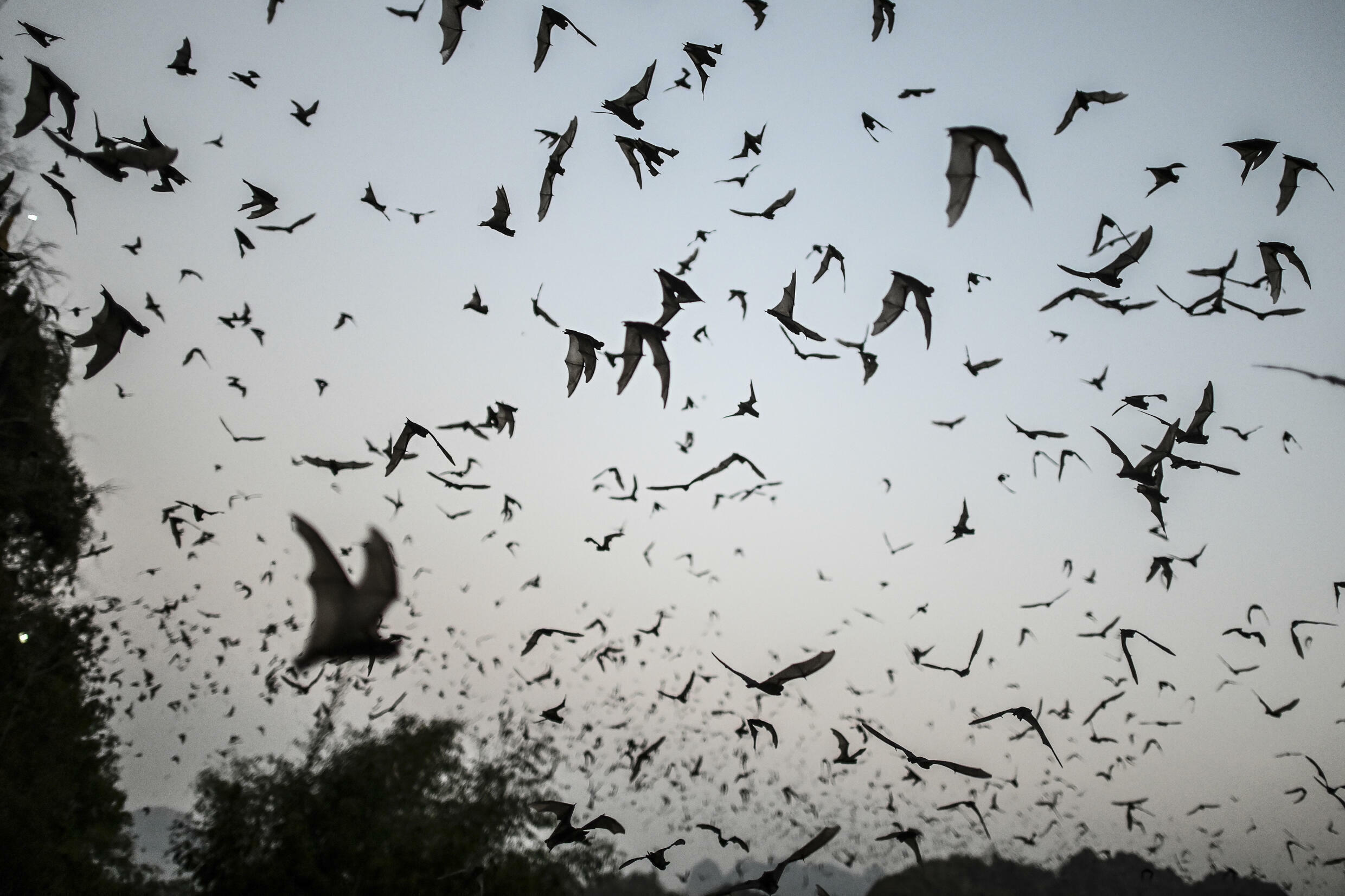Researchers said their findings show that viruses genetically close to the SAR-CoV-2 pandemic virus 'exist in nature' among bat species