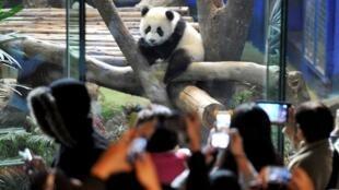 台灣出生的熊貓寶寶圓仔首次公開亮相2014年1月6日台北市立動物園
