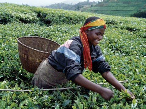 Une jeune femme rwandaise récolte le thé à Kitabé au sud-ouest du Rwanda.