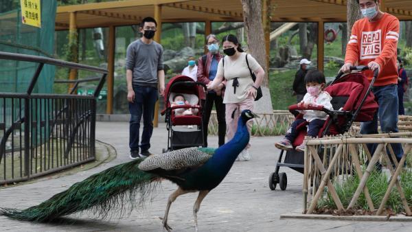 Des visiteurs dans le zoo de Wuhan, quelques jours après le déconfinement.