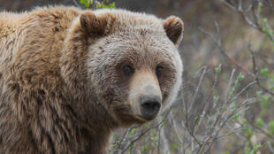 Canadian officials estimate up to 5,000 grizzly bears live in the Northwest Territories.