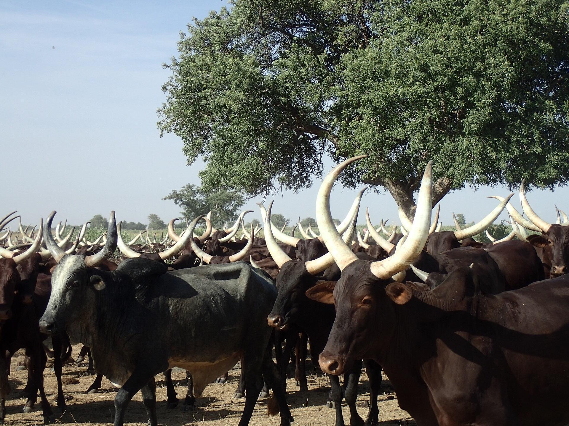 Les vaches M'Bororoji