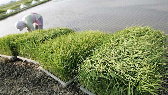 Nông dân trồng lúa tạiTakashima, Nhật Bản
