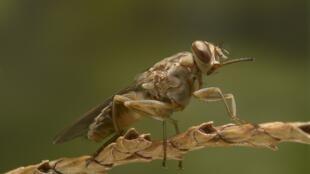 Une mouche tsé-tsé du Burkina-Faso.