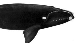 La baleine franche ou baleine noire de l'Atlantique Nord est l'espèce de cétacés la plus menacée.