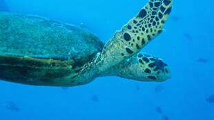 Une tortue verte de Madagascar.