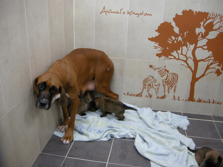 Dans l'un des boxes de l'Institut Sooam Biotech, une chienne mère porteuse allaite les petits clones qu'elle a fait naître.