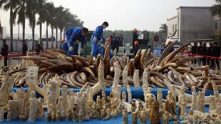 Các nhân viên đang tiêu hủy ngà voi và sản phẩm đã chế tác từ ngà voi tại tỉnh Quảng Đông ngày 6/1/2014.