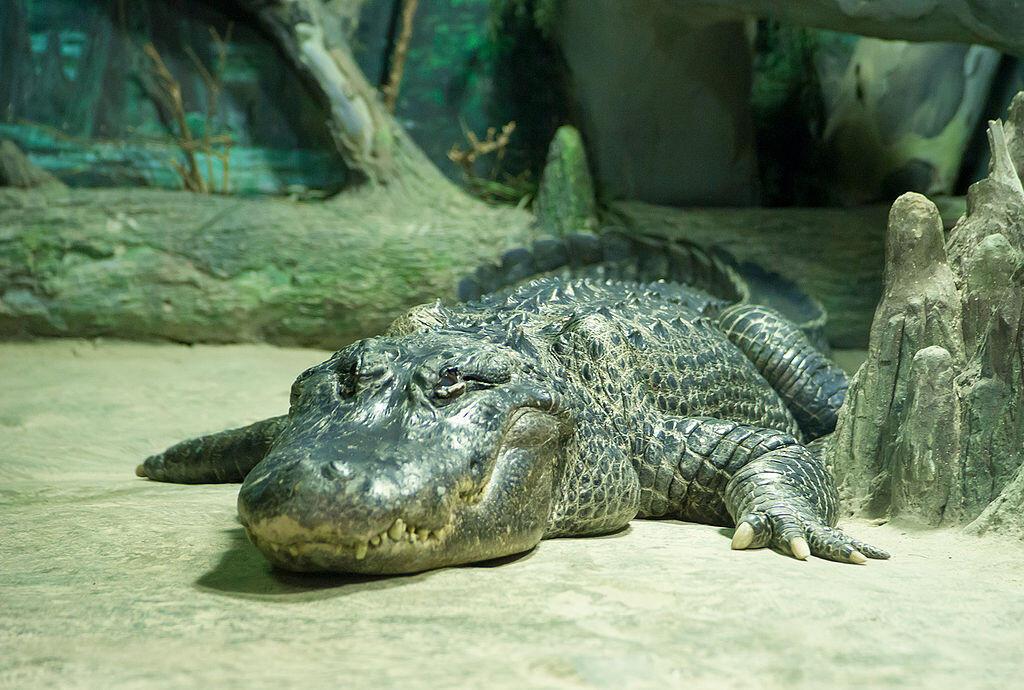 Alligator_mississippiensis