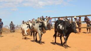 Le marché aux zébus d'Ambalavao, dans le sud de Madagascar.
